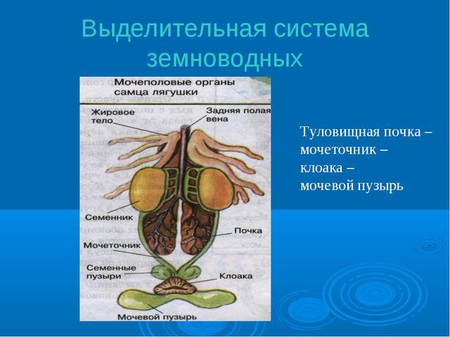 Выделительная система земноводных Туловищная почка – мочеточник – клоака – мо...