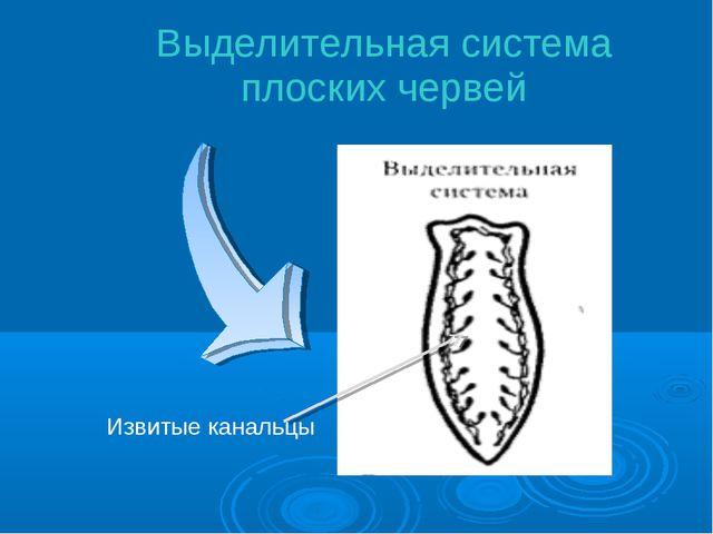 Выделительная система плоских червей Извитые канальцы