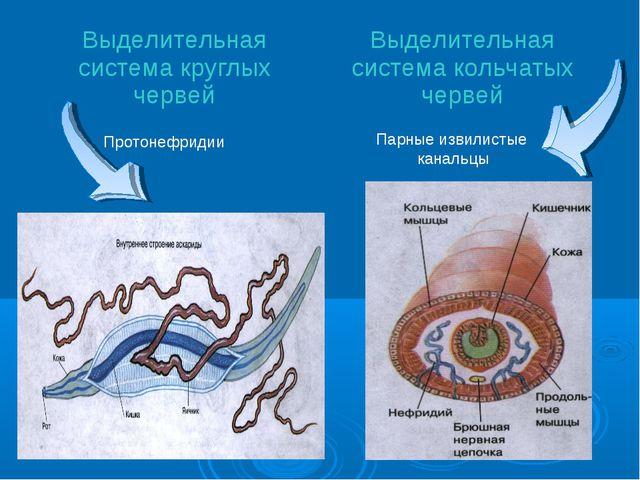 Парные извилистые канальцы Протонефридии Выделительная система круглых червей...