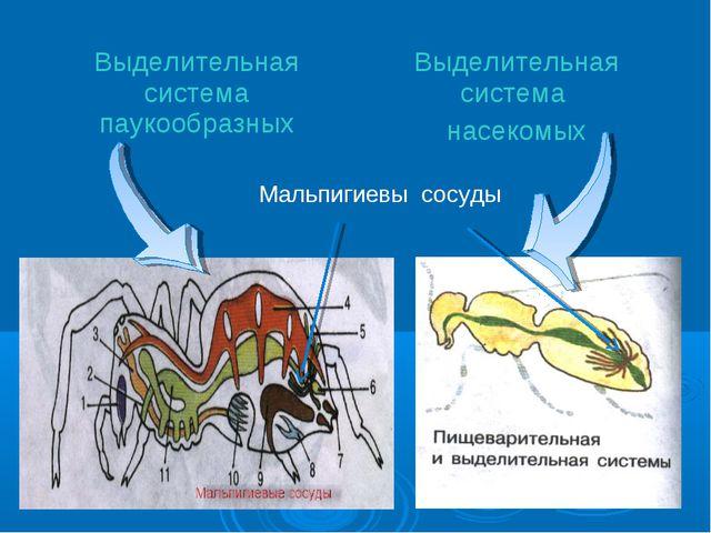 Мальпигиевы сосуды Выделительная система паукообразныхВыделительная система...