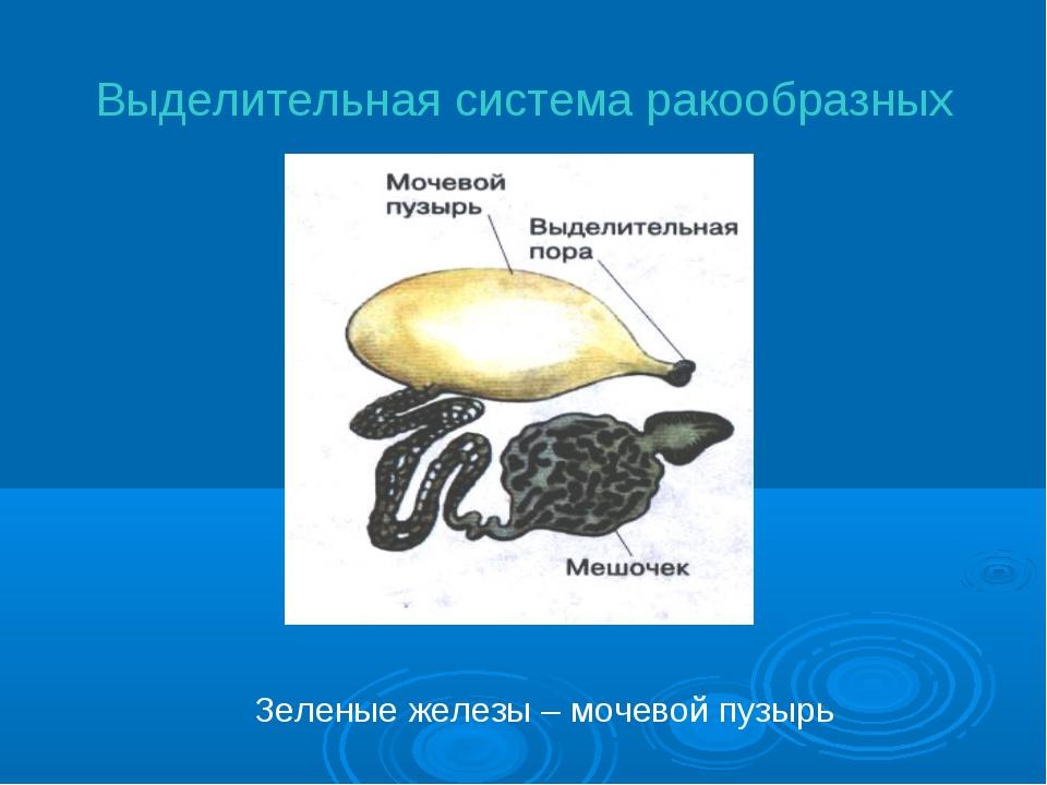 Выделительная система ракообразных Зеленые железы – мочевой пузырь