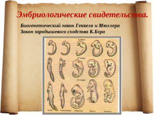 Эмбриологические свидетельства. Биогенетический закон Геккеля и Мюллера Закон