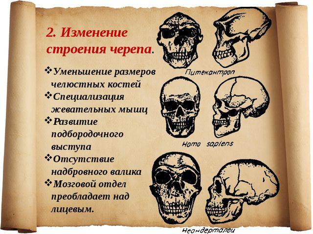 2. Изменение строения черепа. Уменьшение размеров челюстных костей Специализа...