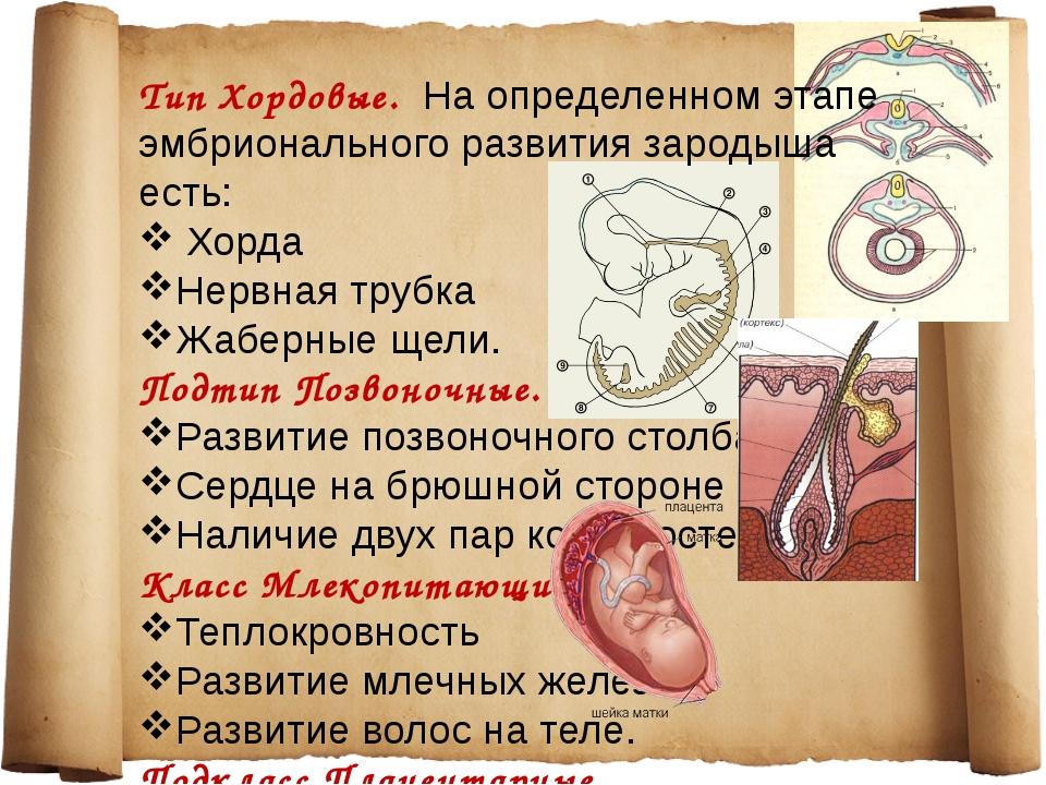 Тип Хордовые. На определенном этапе эмбрионального развития зародыша есть: Хо...