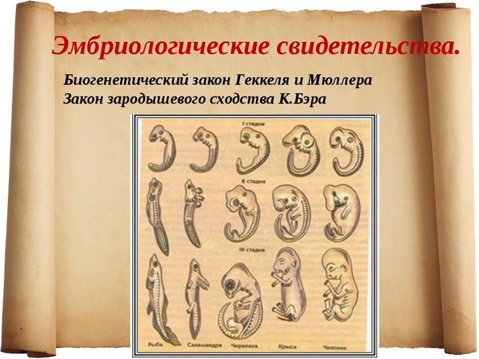 Эмбриологические свидетельства. Биогенетический закон Геккеля и Мюллера Закон...