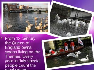 From 12 century the Queen of England owns swans living on the Thames. Every y