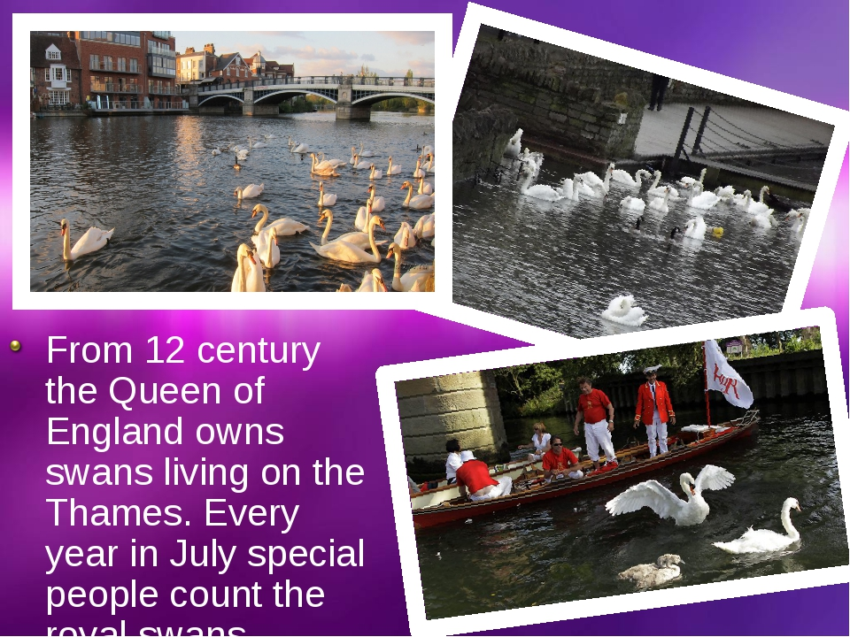 From 12 century the Queen of England owns swans living on the Thames. Every y...