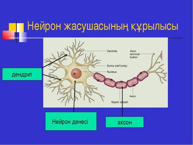 Нейрон жасушасының құрылысы дендрит Нейрон денесі аксон