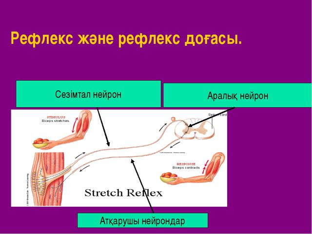 Рефлекс және рефлекс доғасы. Сезімтал нейрон Атқарушы нейрондар Аралық нейрон