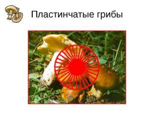 Пластинчатые грибы У сыроежки, шампиньона, груздя, валуя и многих других гриб