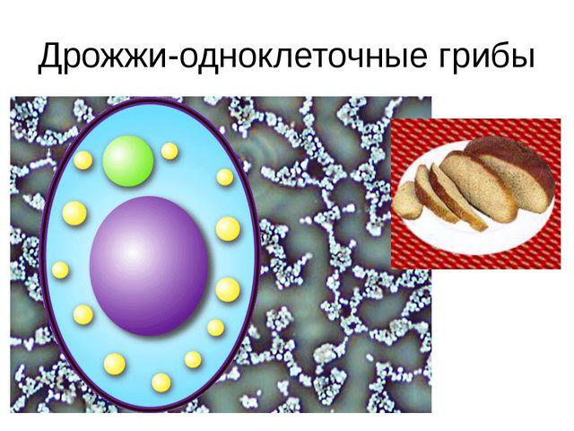 Дрожжи-одноклеточные грибы Результатами деятельности таких грибов, как дрожжи...