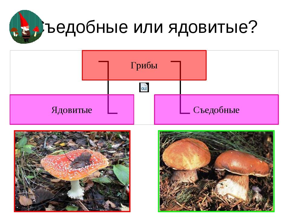 Съедобные или ядовитые? Ядовиты все те грибы, которые при употреблении в пищу...