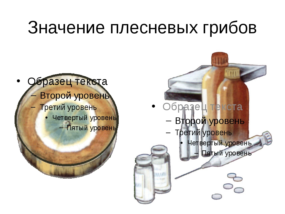 Значение плесневых грибов Некоторые виды пеницилла выделяют особое вещество,...