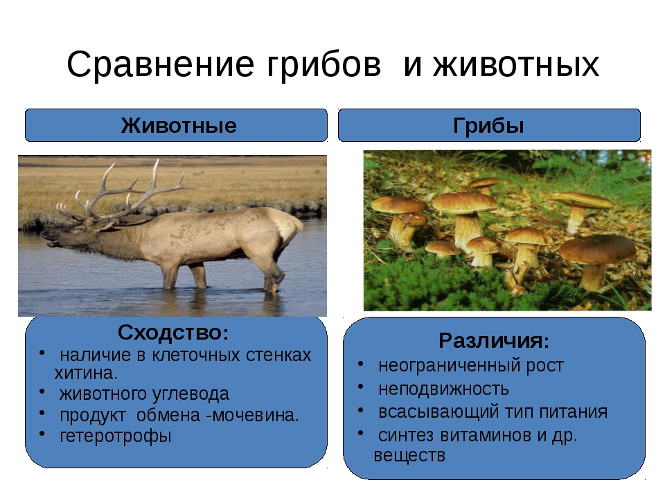 Сравнение грибов и животных Грибы Сходство: наличие в клеточных стенках хитин...