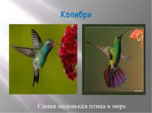 Колибри Самая маленькая птица в мире