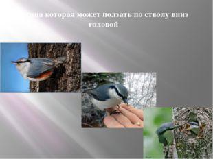 Птица которая может ползать по стволу вниз головой