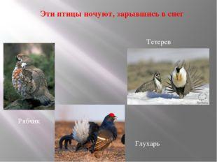 Эти птицы ночуют, зарывшись в снег Глухарь Тетерев Рябчик