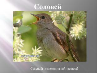 Соловей Самый знаменитый певец!