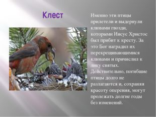 Клест Именно эти птицы прилетели и выдернули клювами гвозди, которыми Иисус Х