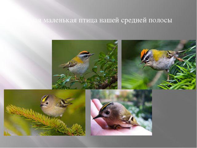 Самая маленькая птица нашей средней полосы