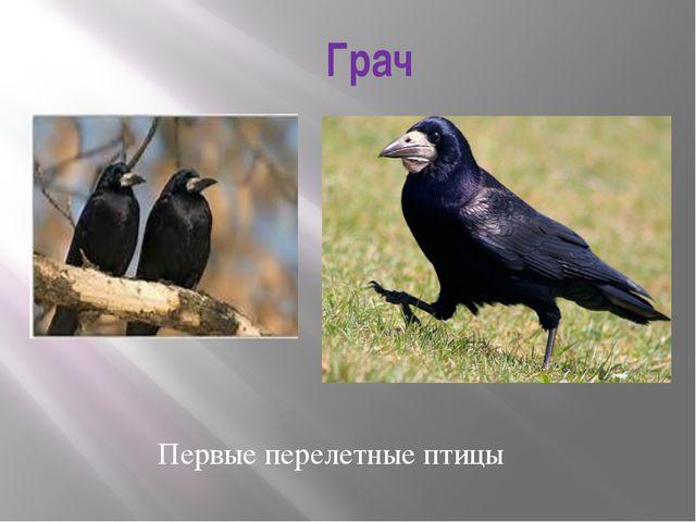 Грач Первые перелетные птицы