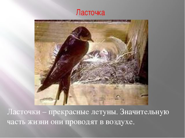 Ласточка Ласточки – прекрасные летуны. Значительную часть жизни они проводят...