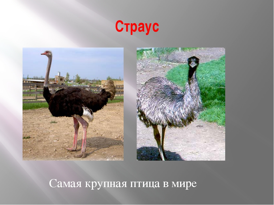 Страус Самая крупная птица в мире