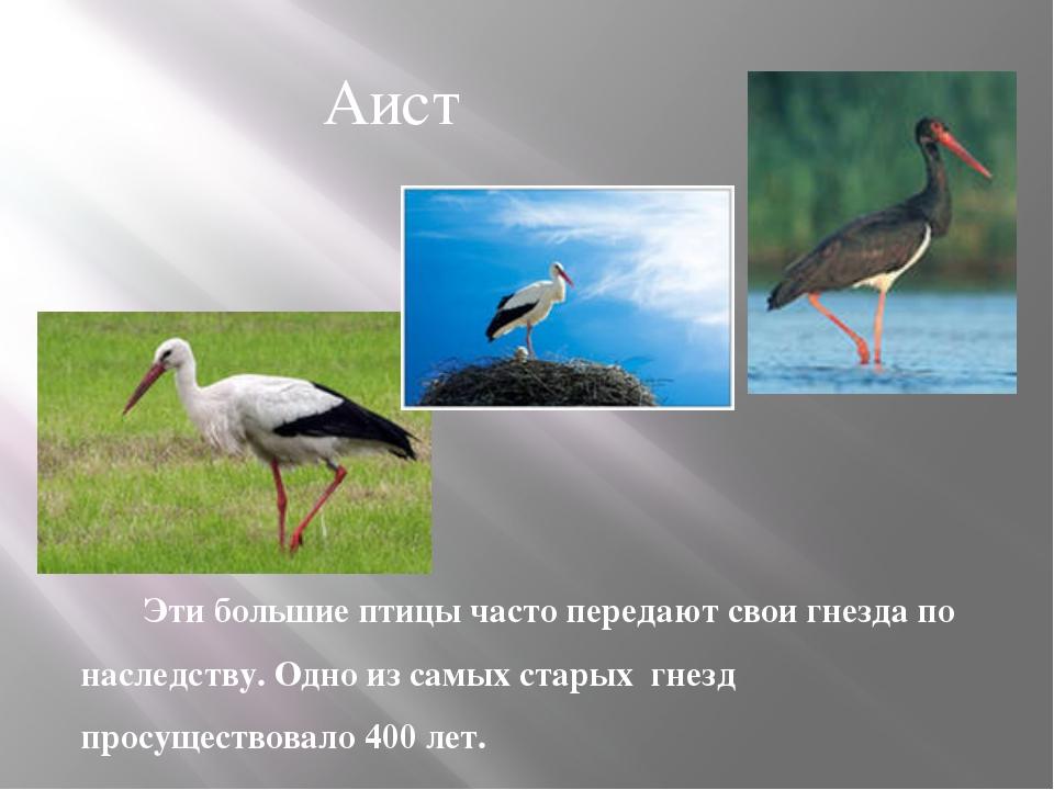 Эти большие птицы часто передают свои гнезда по наследству. Одно из самых ста...
