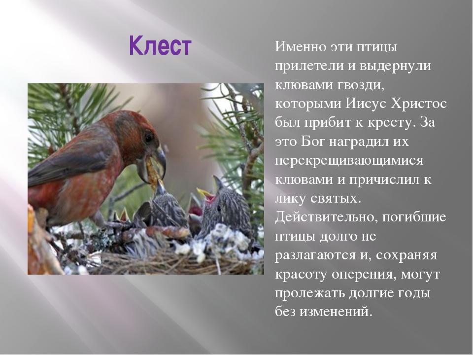 Клест Именно эти птицы прилетели и выдернули клювами гвозди, которыми Иисус Х...