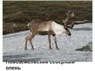 Новоземельский северный олень