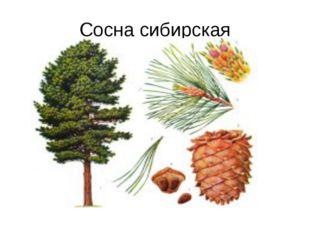 Сосна сибирская