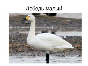 Лебедь малый