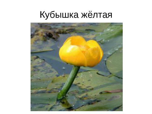 Кубышка жёлтая