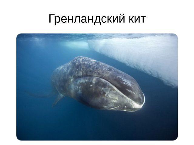 Гренландский кит