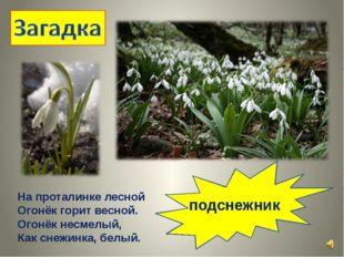 На проталинке лесной Огонёк горит весной. Огонёк несмелый, Как снежинка, белы