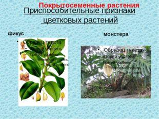 Приспособительные признаки цветковых растений фикус монстера Покрытосеменные