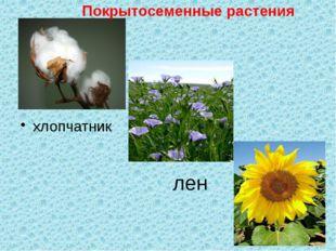 лен хлопчатник Покрытосеменные растения