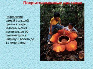Раффлезия - самый большой цветок в мире, который может достигать до 90 санти