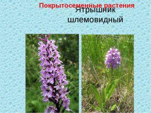 Ятрышник шлемовидный Покрытосеменные растения