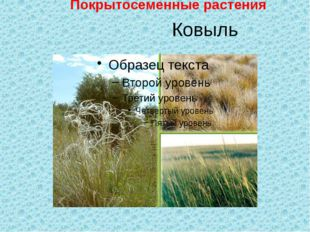 Ковыль Покрытосеменные растения