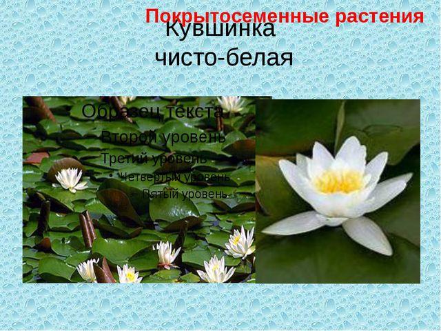 Кувшинка чисто-белая Покрытосеменные растения