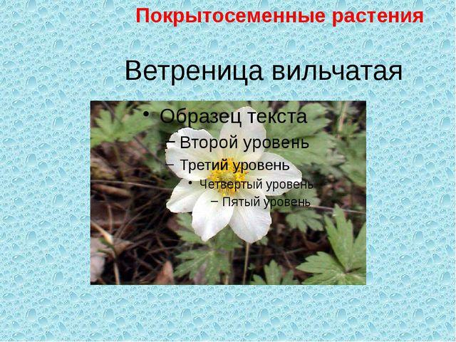 Ветреница вильчатая Покрытосеменные растения