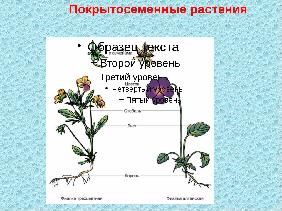 Покрытосеменные растения
