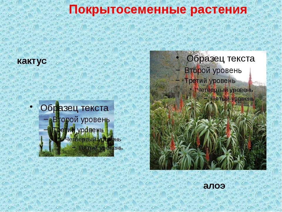 кактус алоэ Покрытосеменные растения