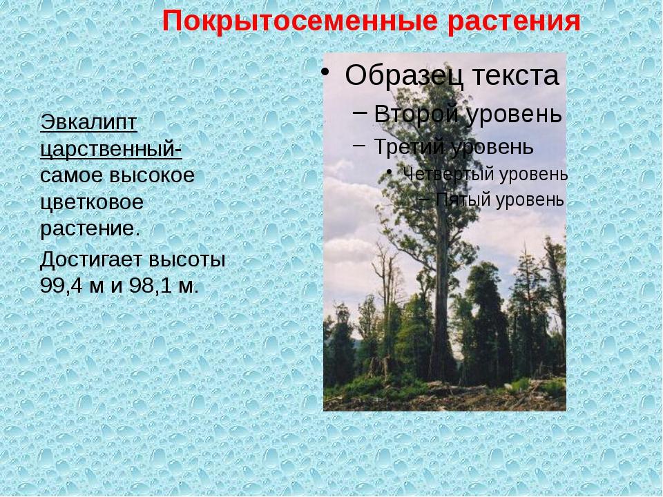 Эвкалипт царственный- самое высокое цветковое растение. Достигает высоты 99,...