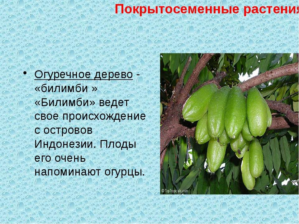 Огуречное дерево - «билимби » «Билимби» ведет свое происхождение с островов...