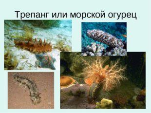 Трепанг или морской огурец