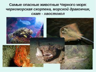 Самые опасные животные Черного моря: черноморская скорпена, морской дракончик