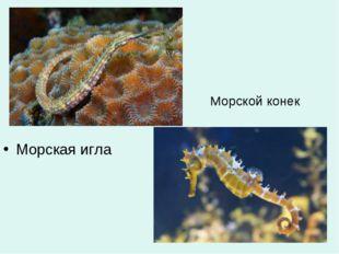 Морской конек Морская игла
