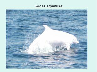 Белая афалина